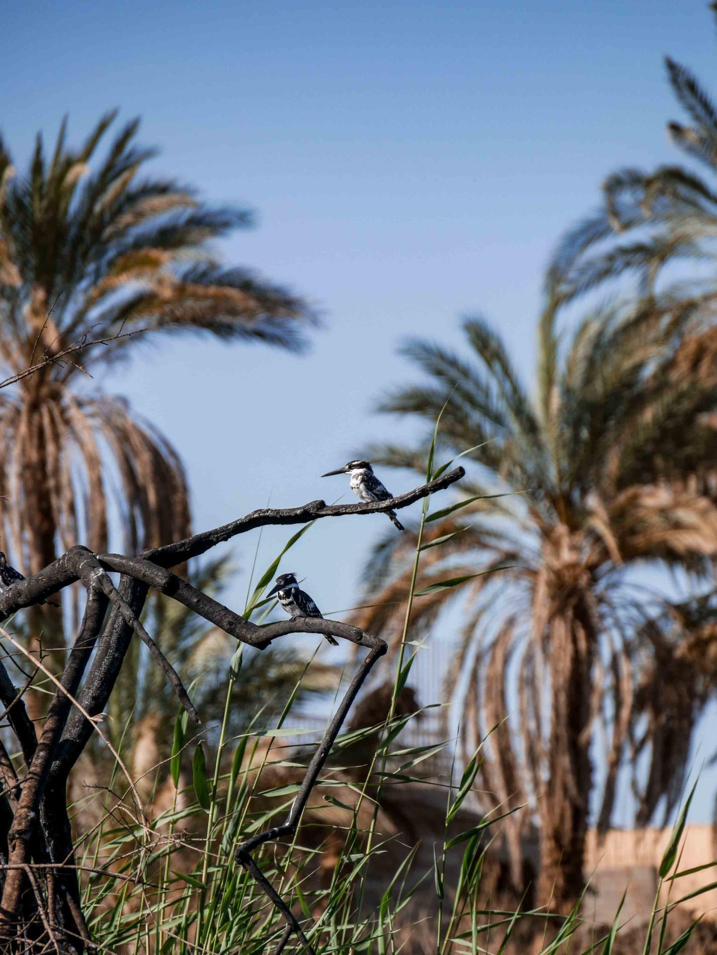 oiseau egypte